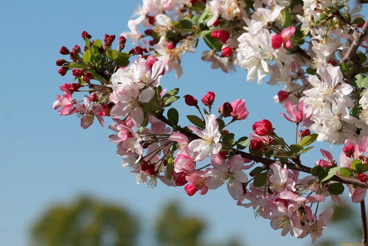 его картинка на рабочий стол цветение яблони строительстве троп указываем