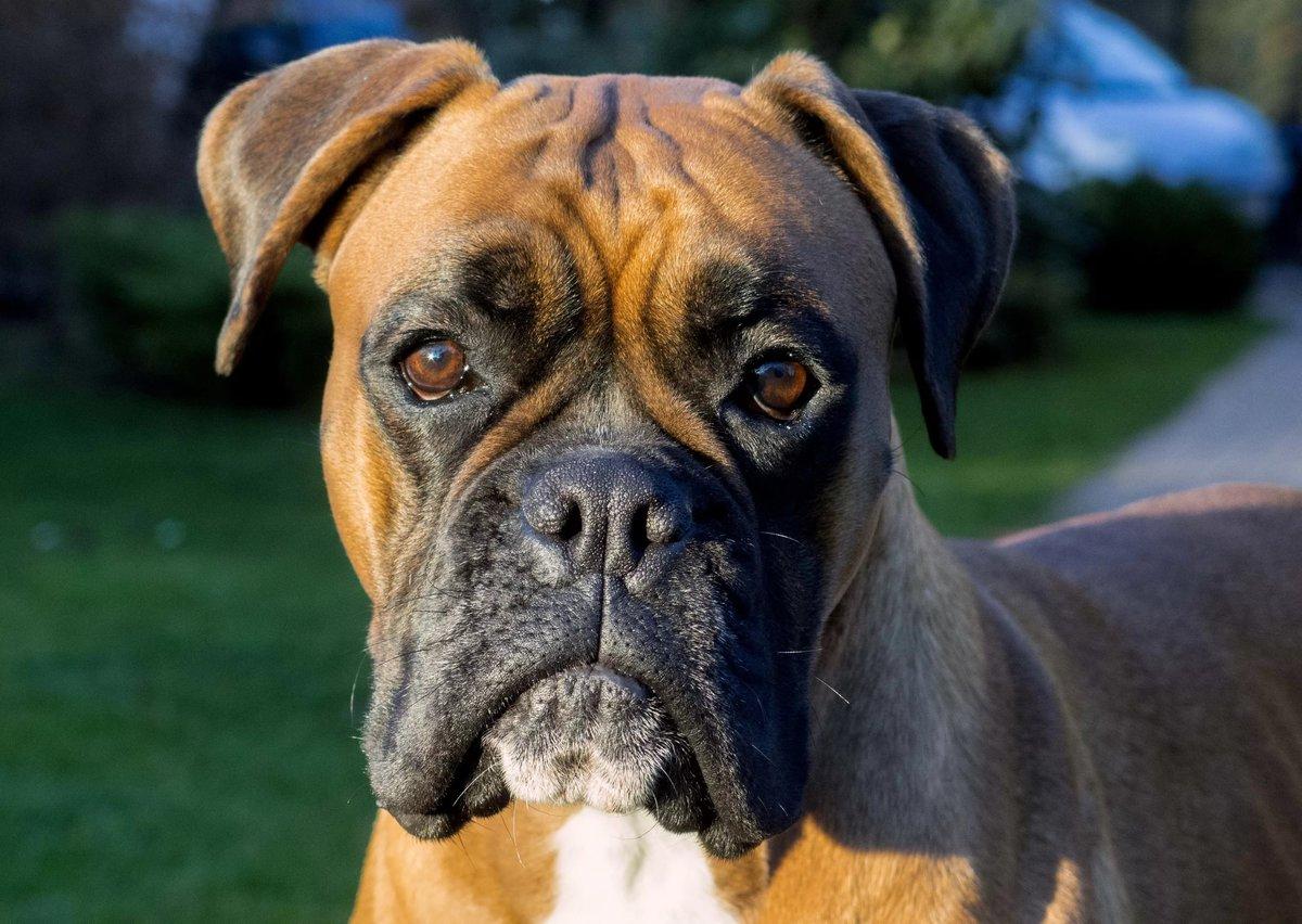 гарифуллина фото собак немецких боксеров снимке чернокожий