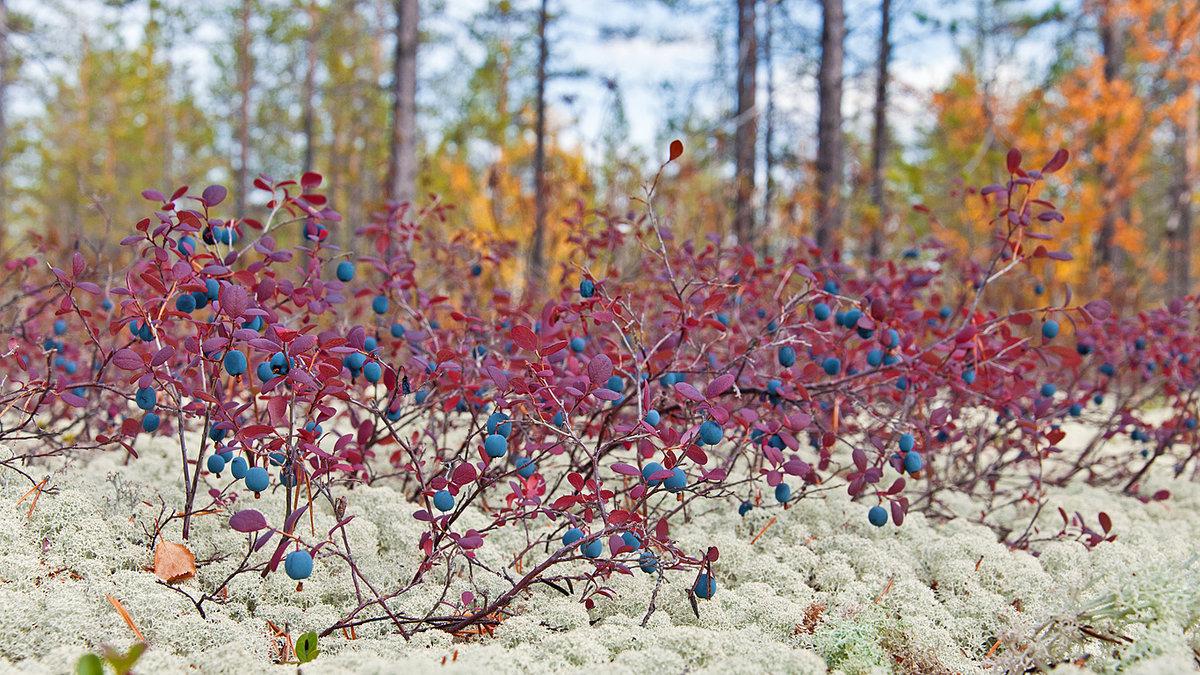 Картинка черники в осеннем лесу