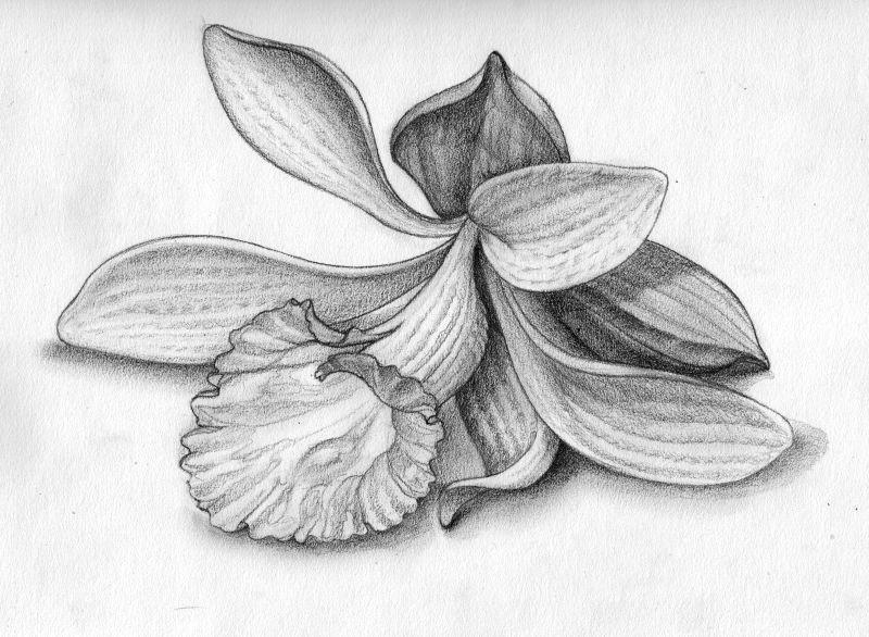 Орхидеи картинка карандашом