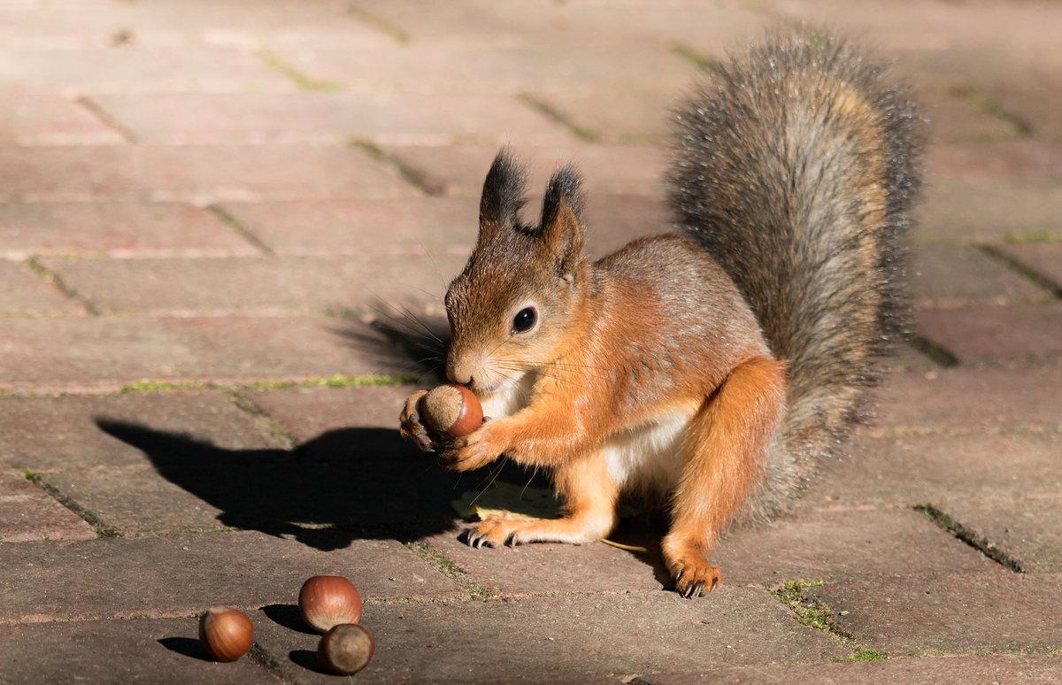 Картинка белки с орешком