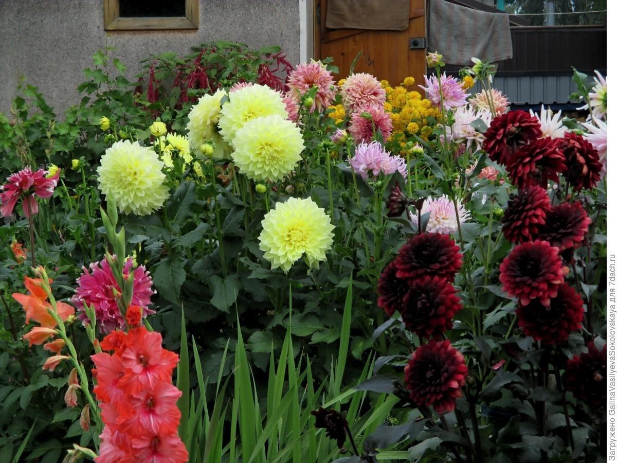 Георгин фото цветов на клумбе