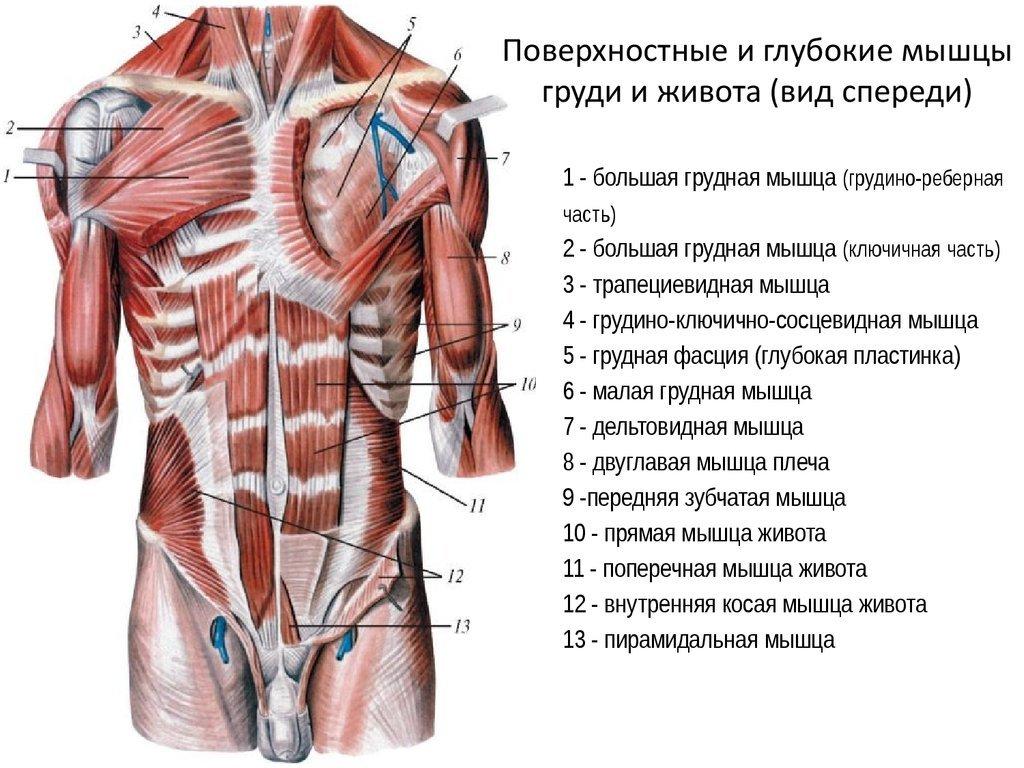 мышцы живота анатомия фото женского