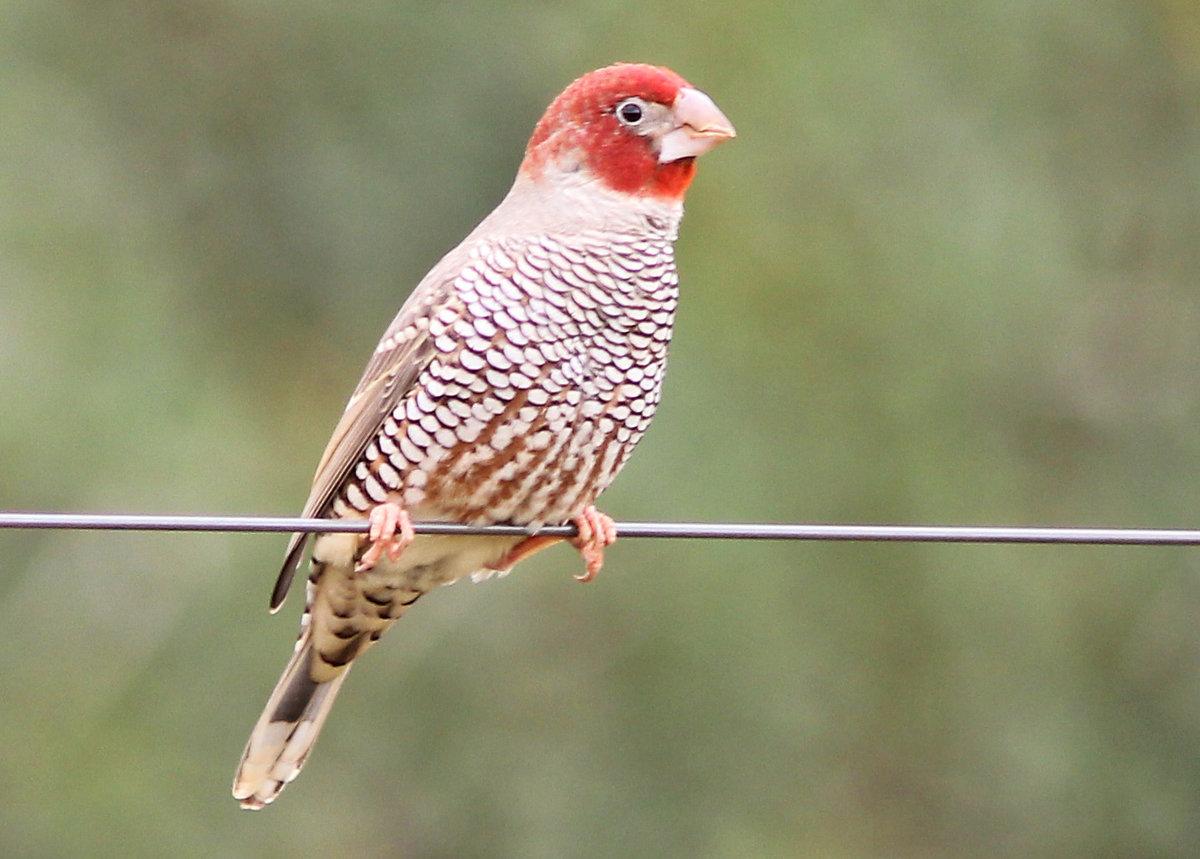 картинки птички амадин треугольник идеальный