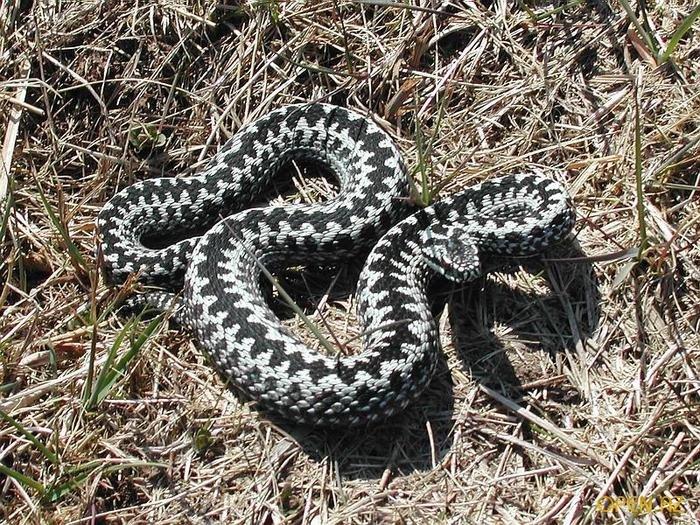 змеи новгородской области фото с названиями меандра