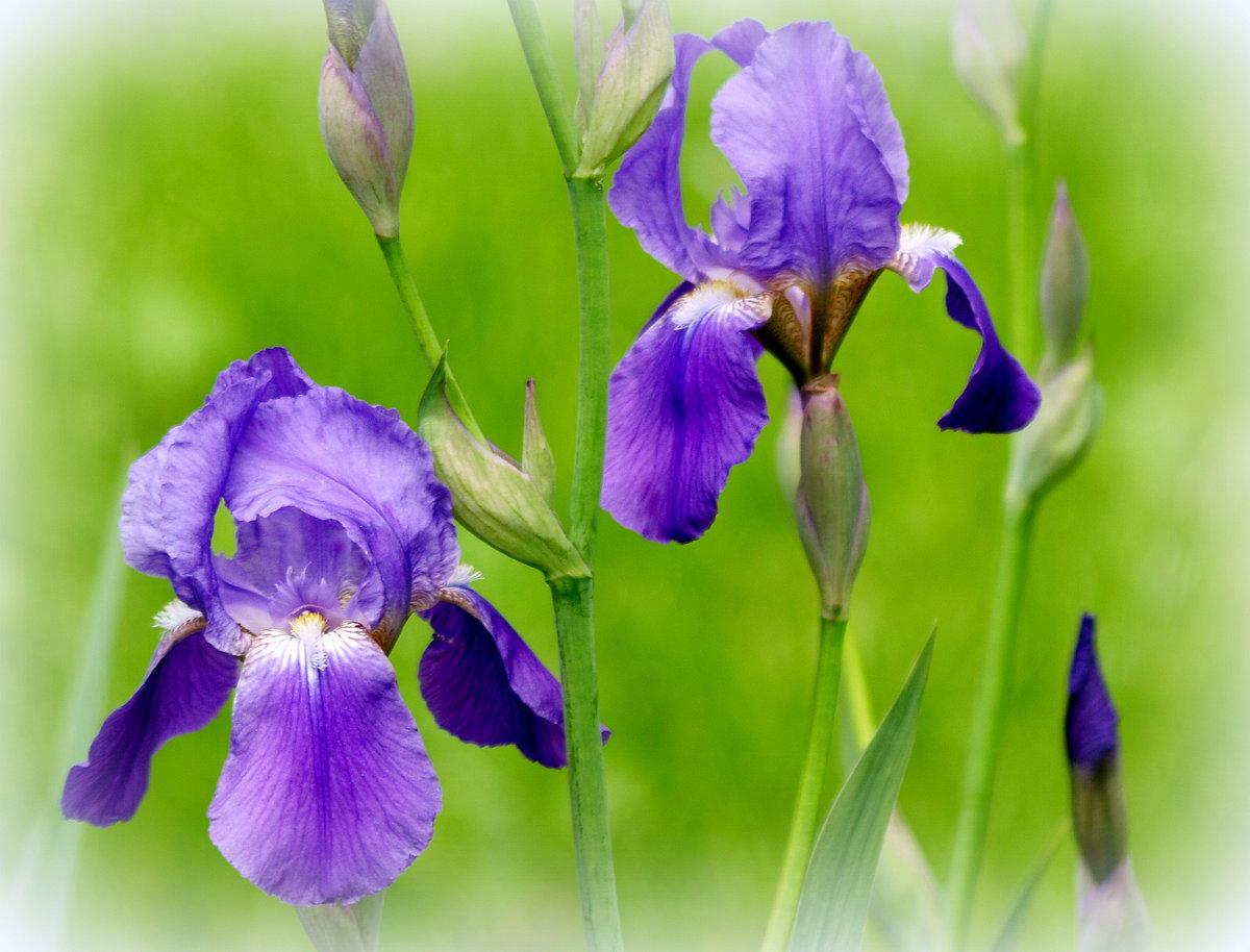 Фото цветы ириса