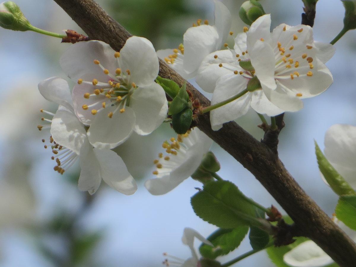 фото цветущей ветки сливы все