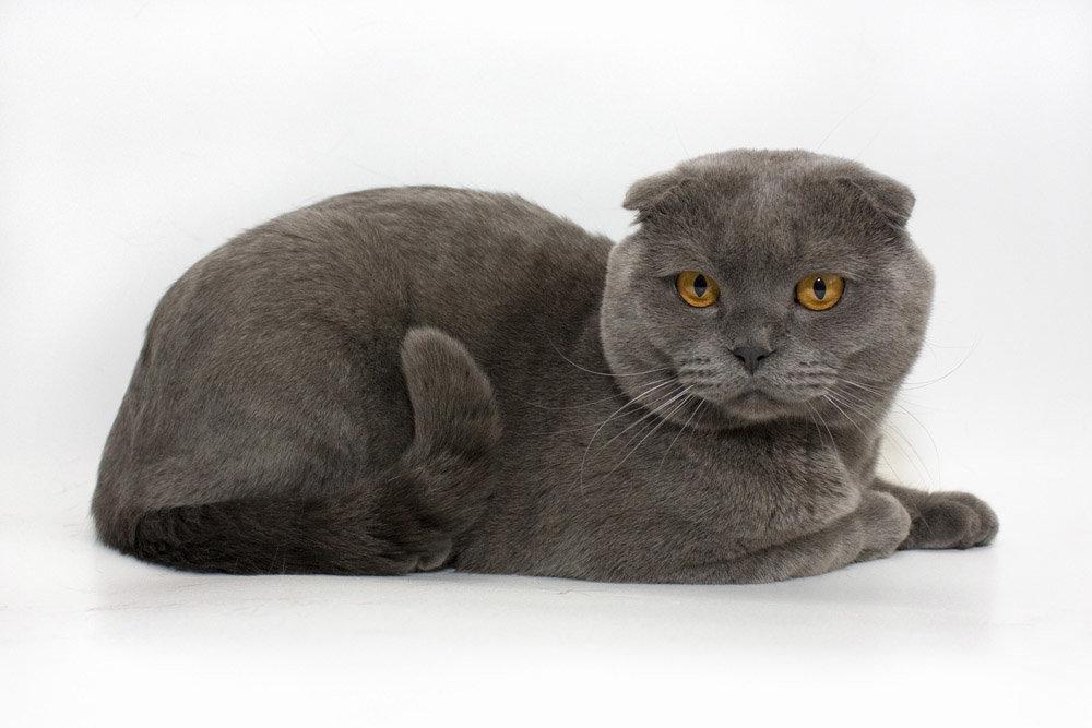 Картинки кошка британская вислоухая кошка
