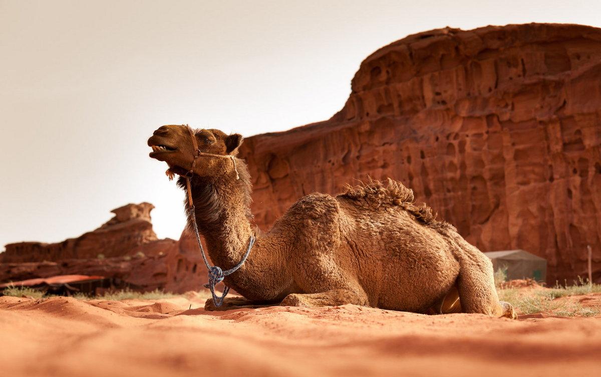 Картинки с верблюдом в пустыне