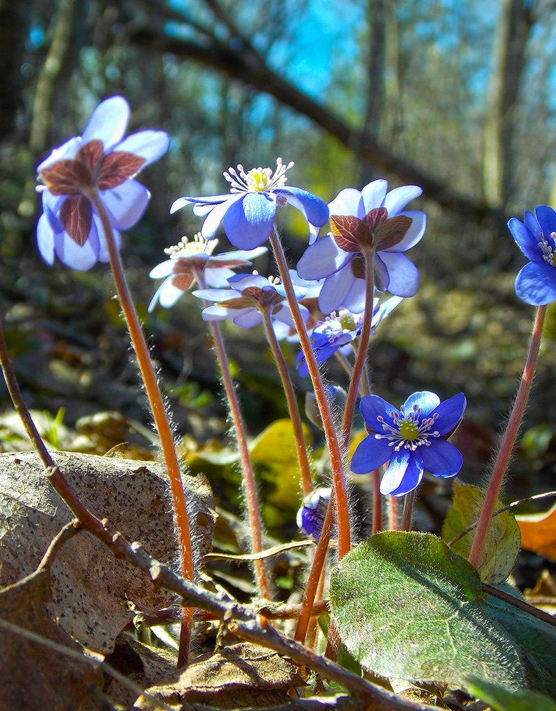 Лесные цветы украины фото и названия