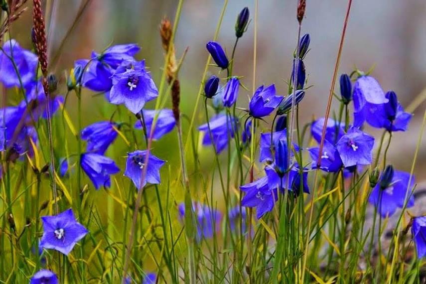 Колокольчики картинки полевые цветы
