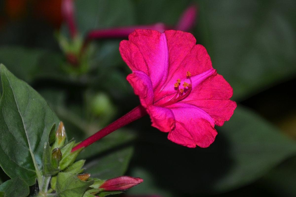 Лучшие, показать картинки цветов ночная красавица