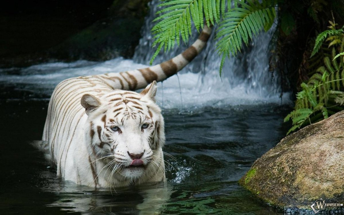 Белый тигр идет по реке. Обои на телефон.