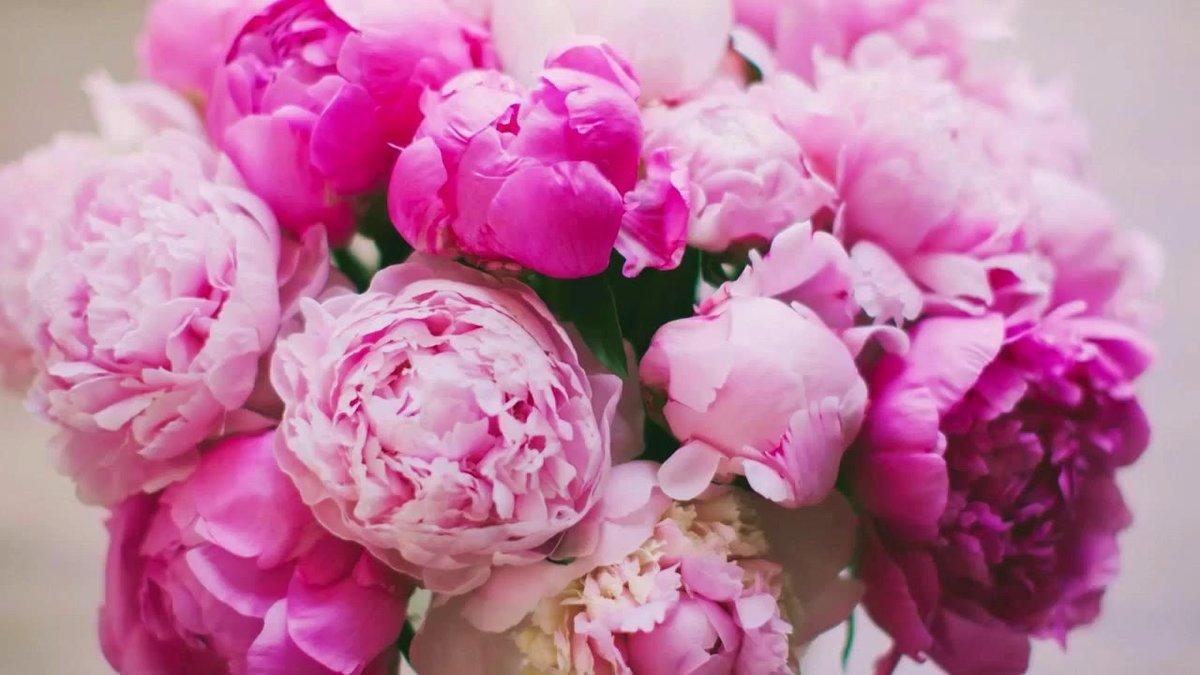Цветы пионы картинки