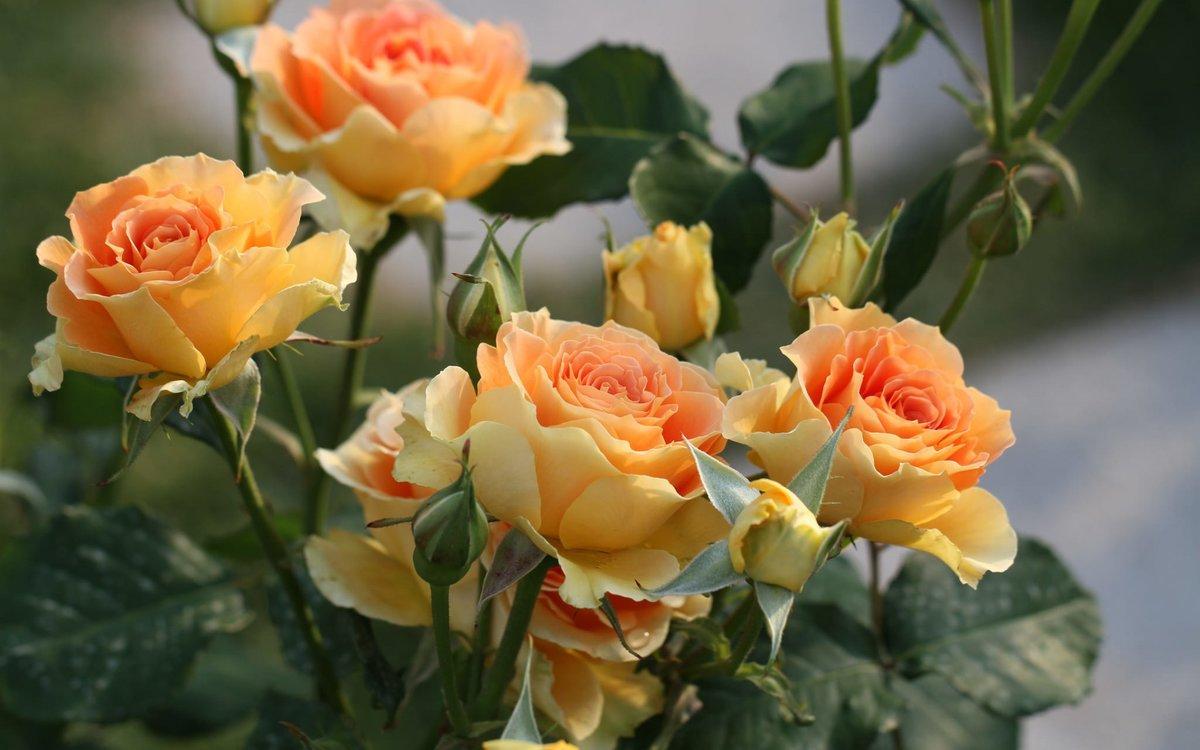 фото чайных роз в хорошем качестве фотографий