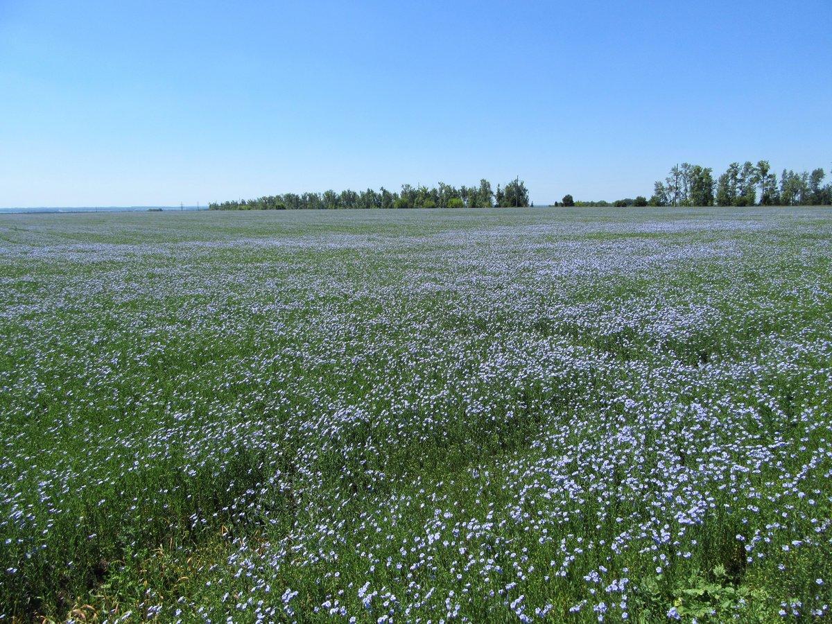 Картинки поле льна