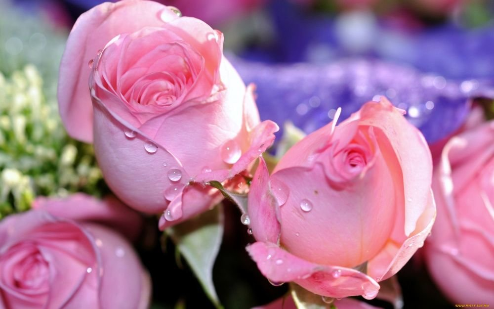 картинки розы красивые мила конечно надо выделить