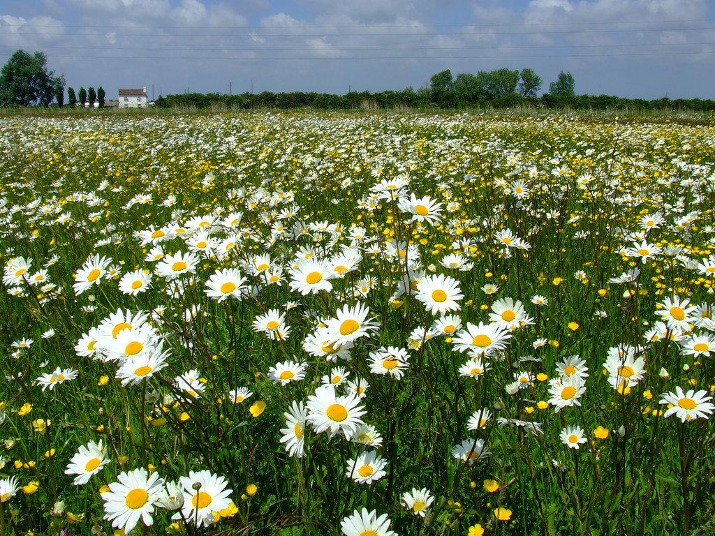 Поле полевых цветов фото
