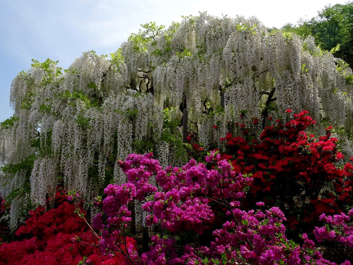 цветущие деревья индии фото объектив