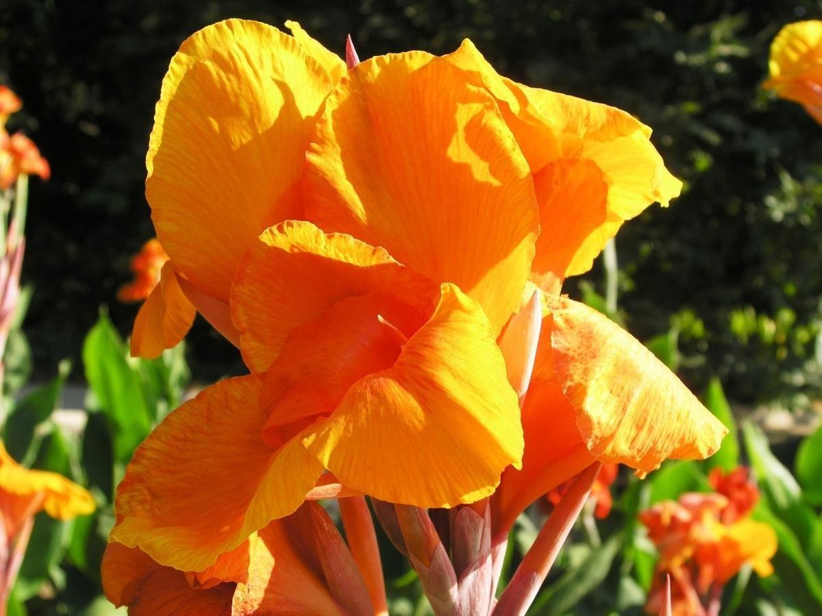 картинки цветы канны такой
