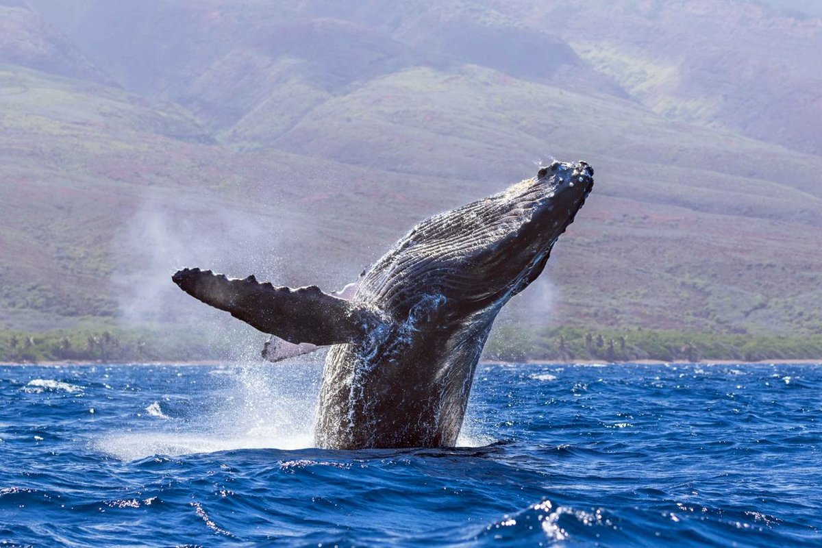Картинка кит горбач