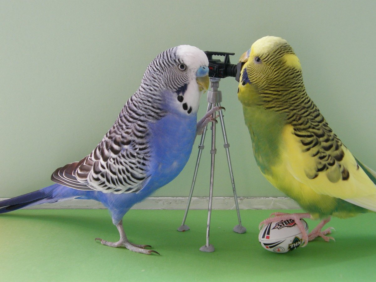 Картинки попугаев волнистых говорящих