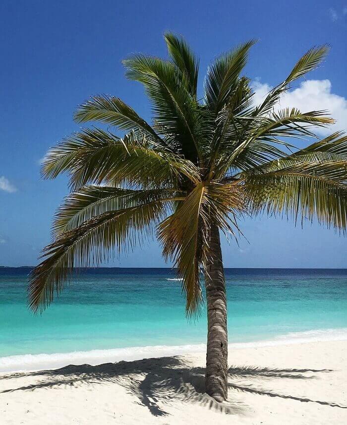 фотографа изобилует кокосовая пальма фото вот, тут