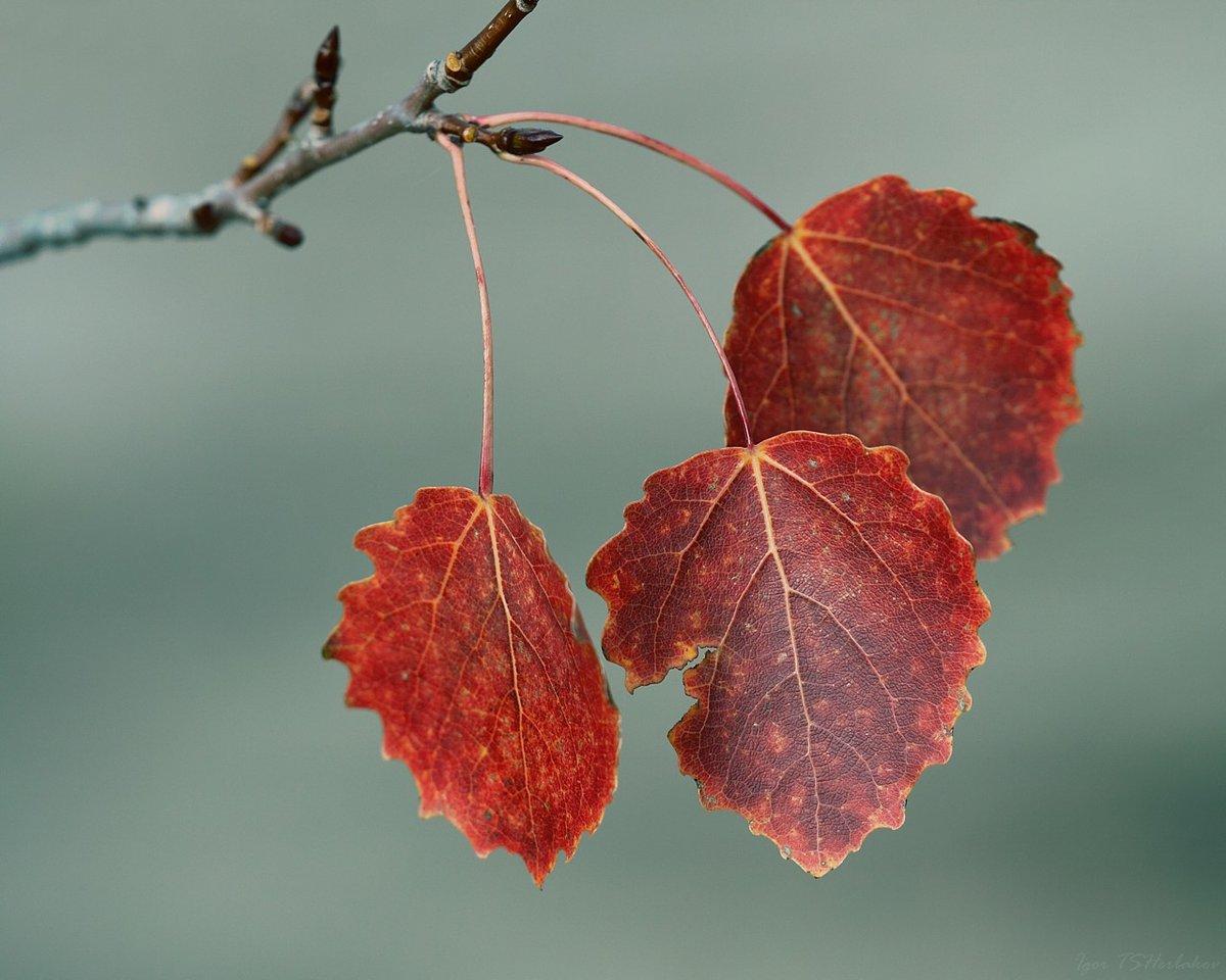 востоку села какие листья у осины фото одного самых востребованных