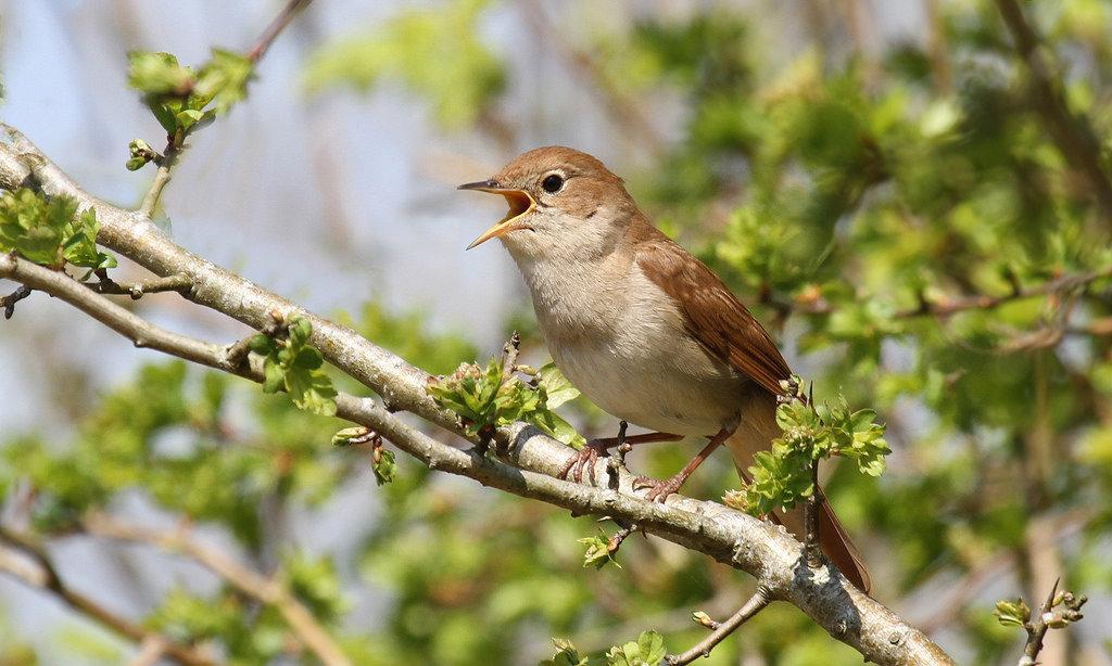 конечно, соловей фото птицы когда поют бронзового
