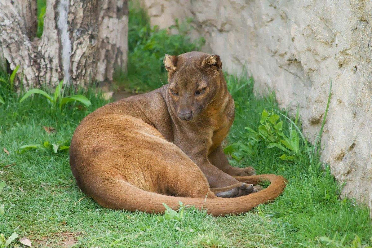 Мадагаскарская кошка фото