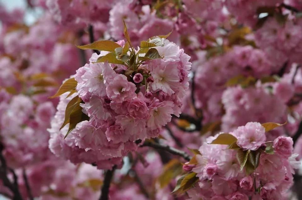 Толкование снов, где цвет вишни срывается ветром, указывает на обещания, данные сновидцу кем-то, которые не будут выполнены.
