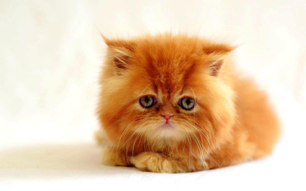 Открытки коты персы, днем рождения