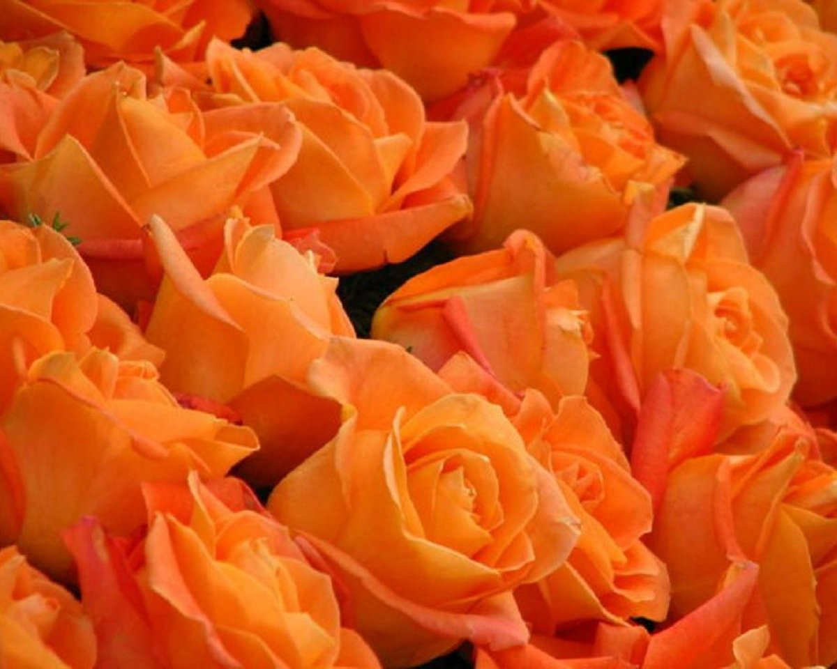 картинки с морковным цветом розы используется производственных участках