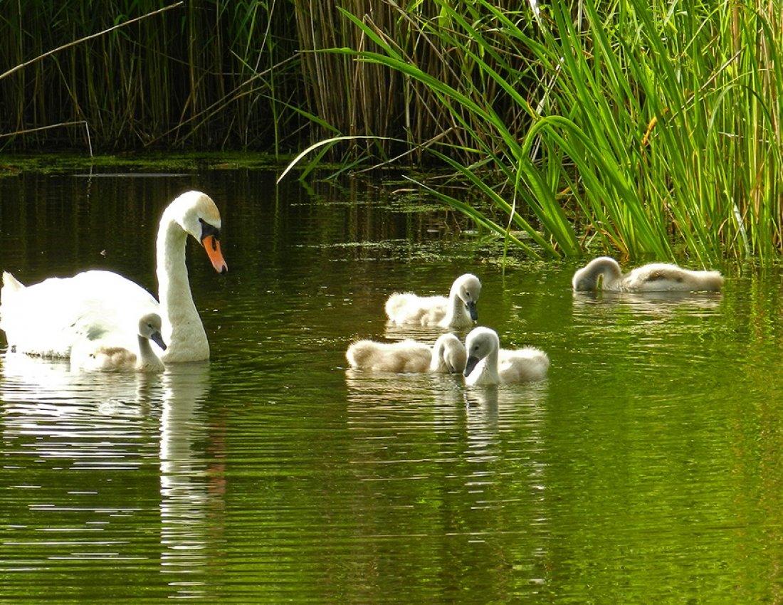 Картинки лебеди в пруду