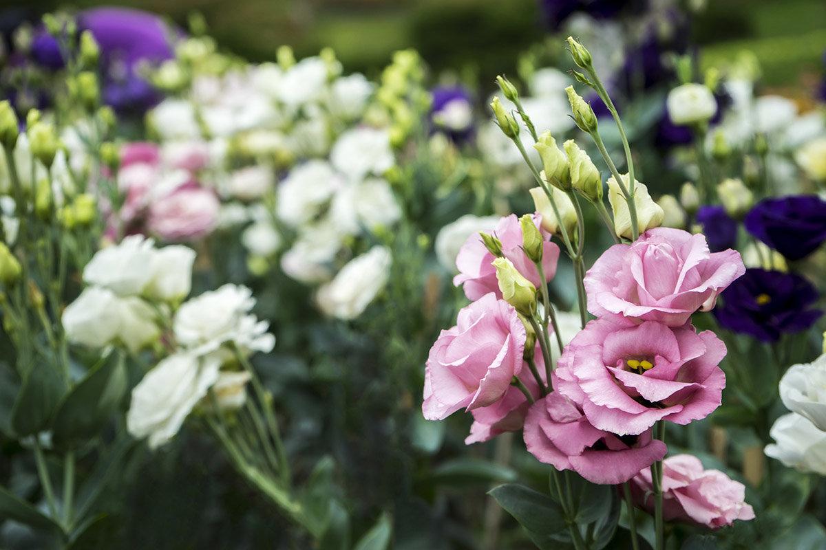 Букета заказ, цветы эустома цена и уход