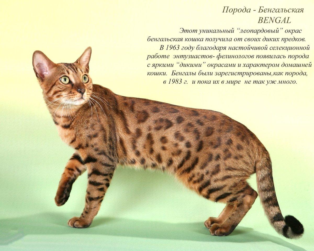 Коты и кошки всех пород с картинками