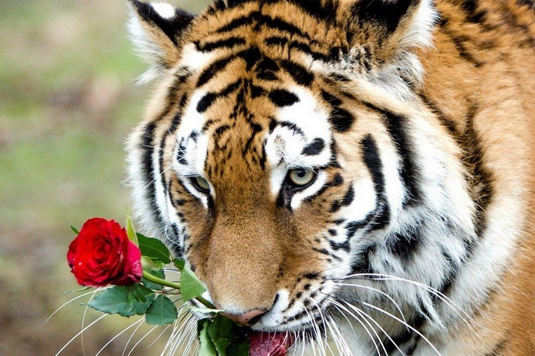Beautiful pictures of the tiger - YouTube