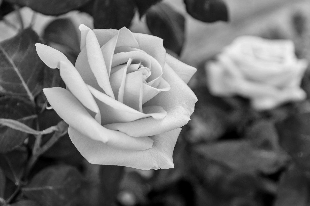 Спасибо, картинки черно белая роза