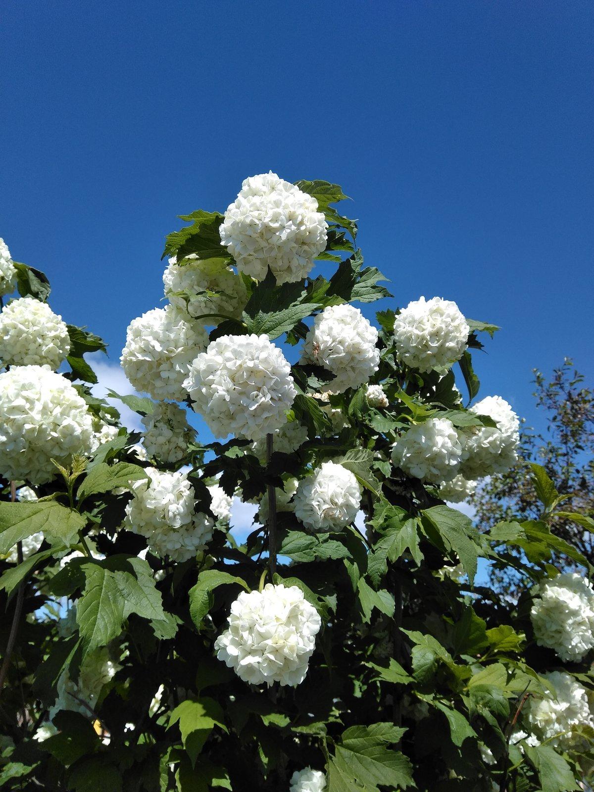 Цветов, цветы бульденеж купить украина