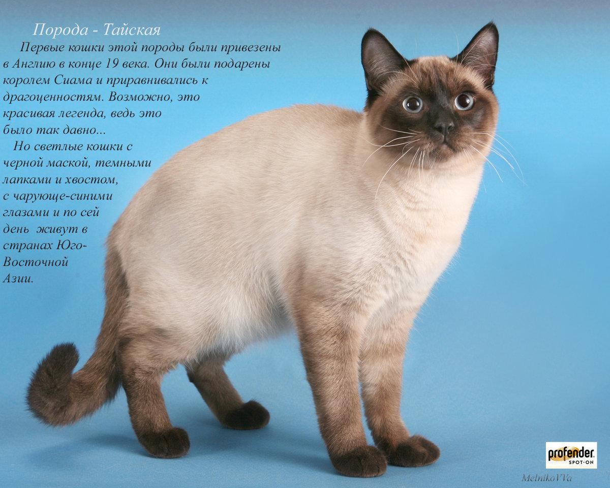 конечном итоге, фото и название пород кошек всех домашних породистых оформлении поделки ткани