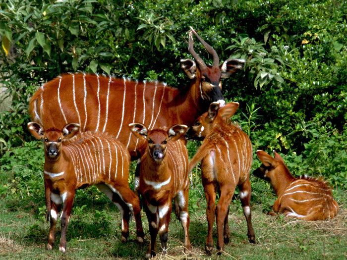 female bongos - 700×525