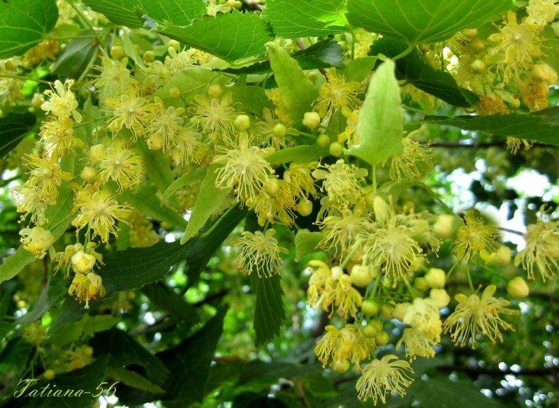 Вдыхаю липы аромат #tatiana56 #лето #липа #цветение #22июня #2011г