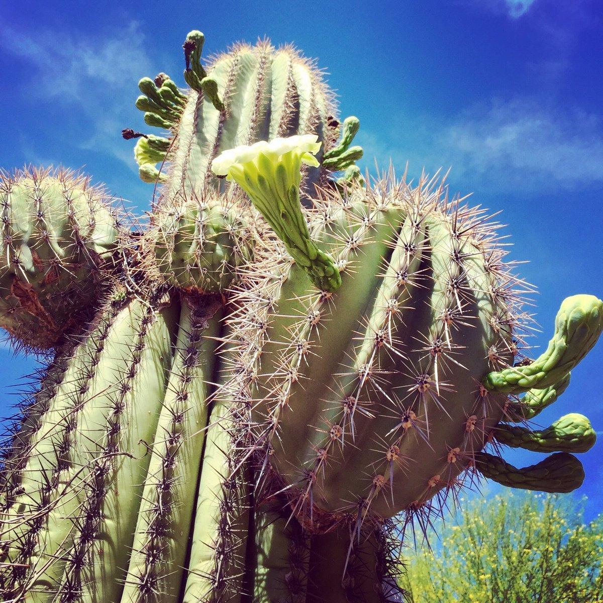 Картинка с кактусами