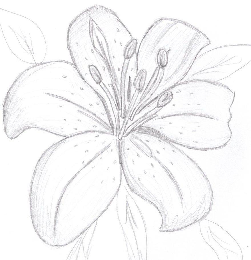 Лилии картинки нарисованные