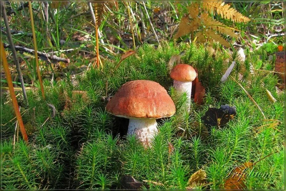 Опушка с грибами картинки