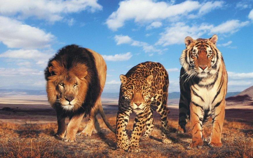 Тигры и львы - самые опасные из семейства ÐºÐ¾ÑˆÐ°Ñ‡ÑŒÐ¸Ñ .