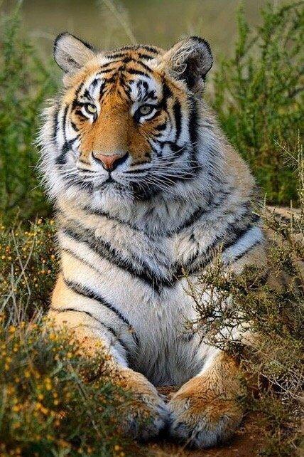 Тигр отдыÑает