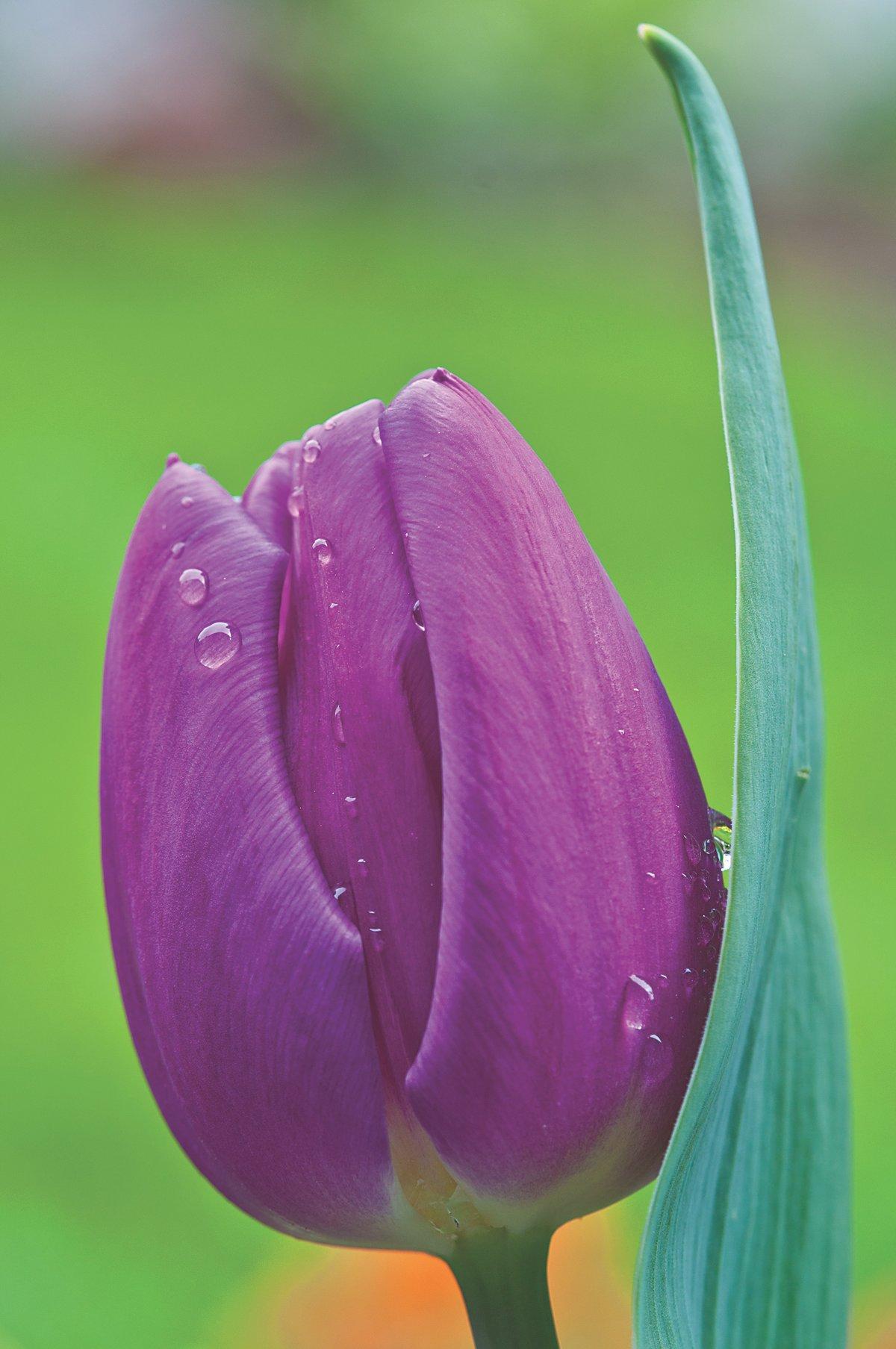 картинки цветы тюльпаны красивые крупно конечно