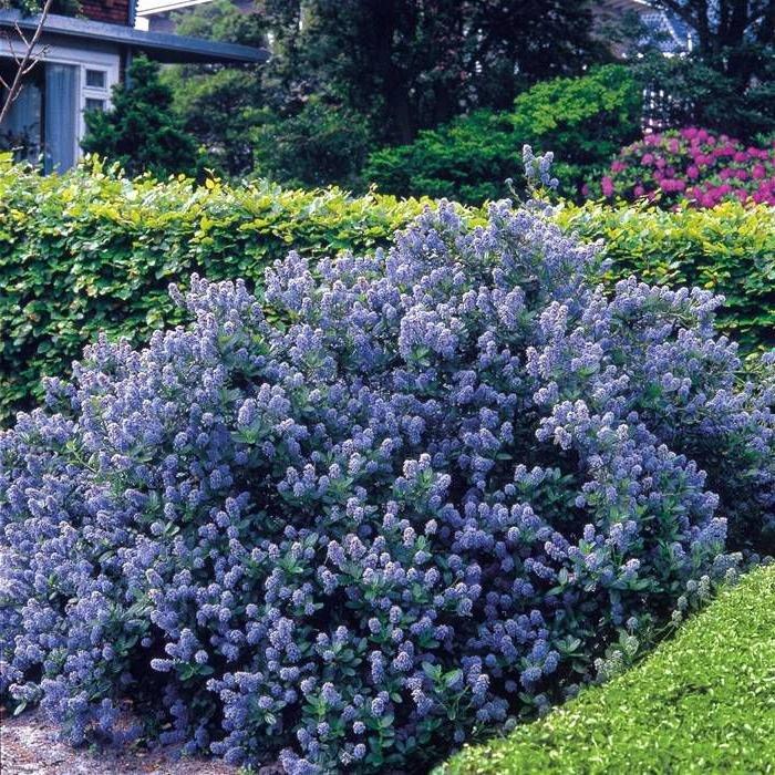 народы вечнозеленые садовые растения фото и названия корея