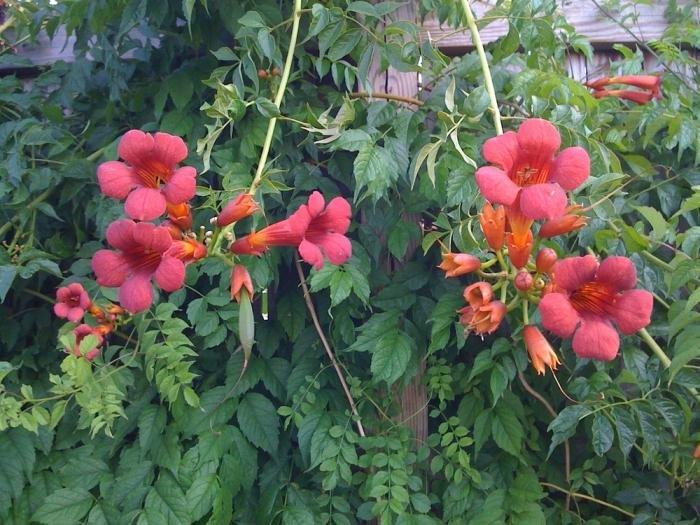 Многолетние лианы для сада фото и названия